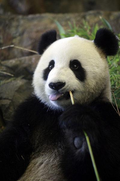 В австралийском зоопарке появились две новые панды Ван Ван и Фани. Аделаида, Австралия. Фото: Brett Hartwig/Getty Images