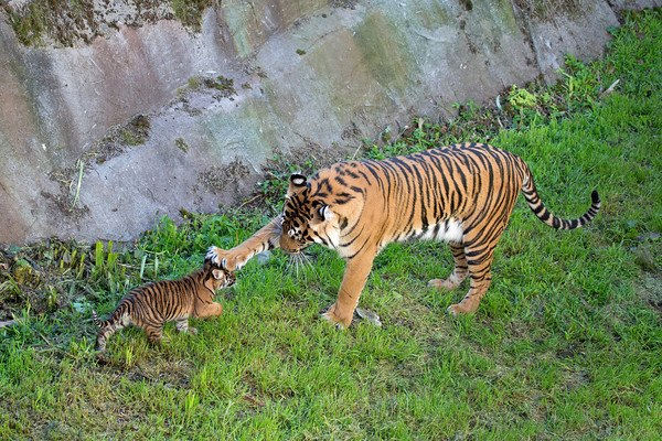 Тигрица Леанна с тигрёнком в зоопарке Сан-Франциско. Фото: Marianne Hale/sanfranzoo/facebook.com