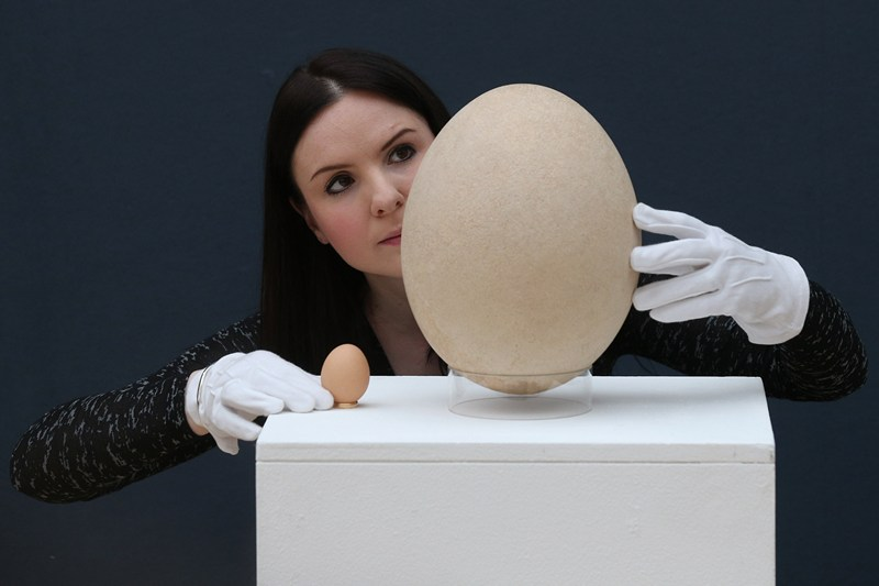 Лондон, Англия, 27 марта. Яйцо вымершей слоновой птицы выставлено на аукционе «Кристи». Его стоимость оценивается в 30 тыс. фунтов стерлингов. Слева для сравнения — куриное яйцо. Фото: Oli Scarff/Getty Images