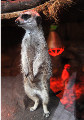 Сурикат в зоопарке немецком города Jaderberg. Фото: INGO WAGNER/AFP/Getty Images