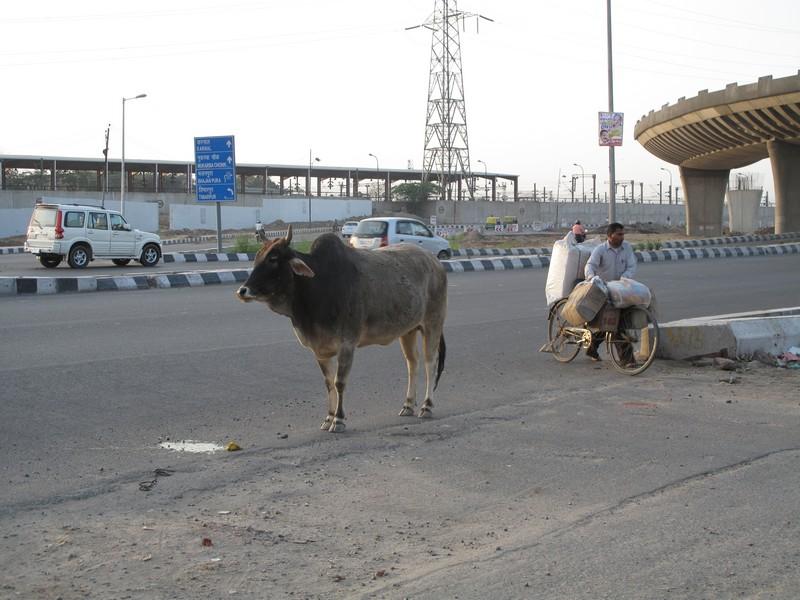 Корова на автовокзале в Дели. Фото: Игорь Борзаковский/Великая Эпоха