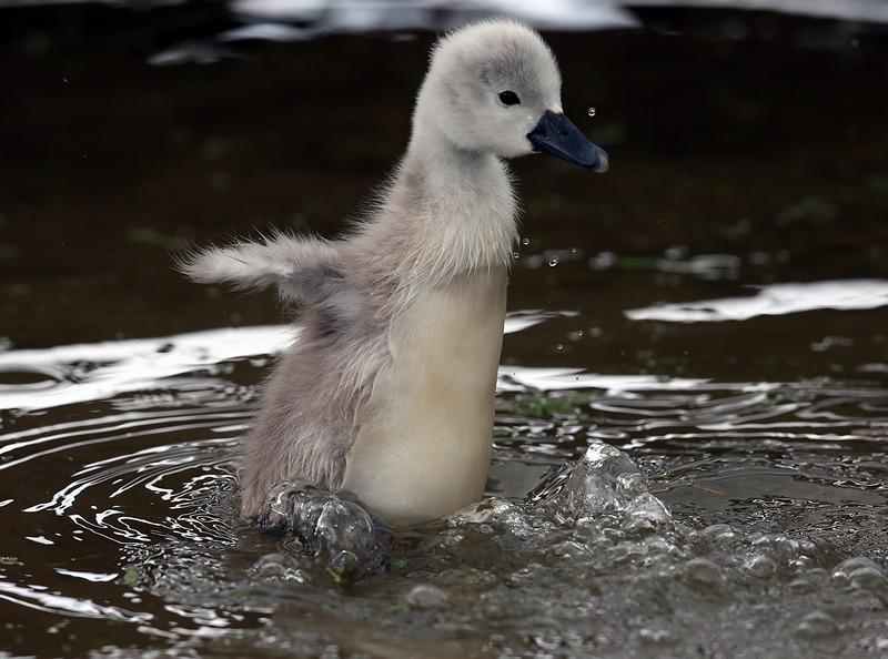 Эбботсбери, Англия, 23 мая. Птенец лебедя-шипуна купается в водоёме. В лебединой колонии появились первые птенцы. Фото: Matt Cardy/Getty Images
