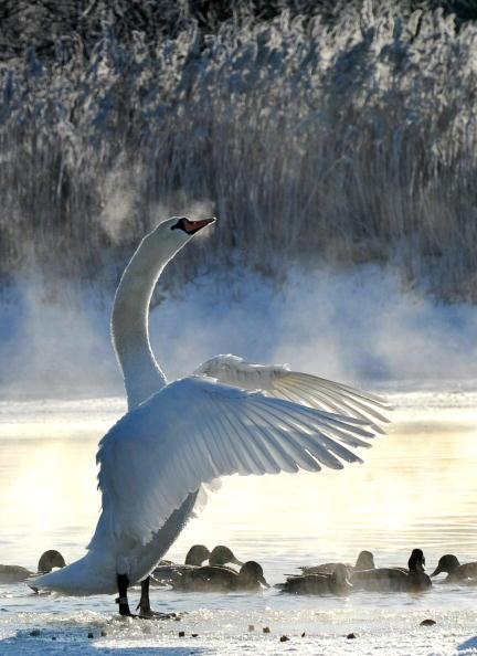 Лебедь на озере в Минске. Беларусь. Фото: VIKTOR DRACHEV/AFP/Getty Images
