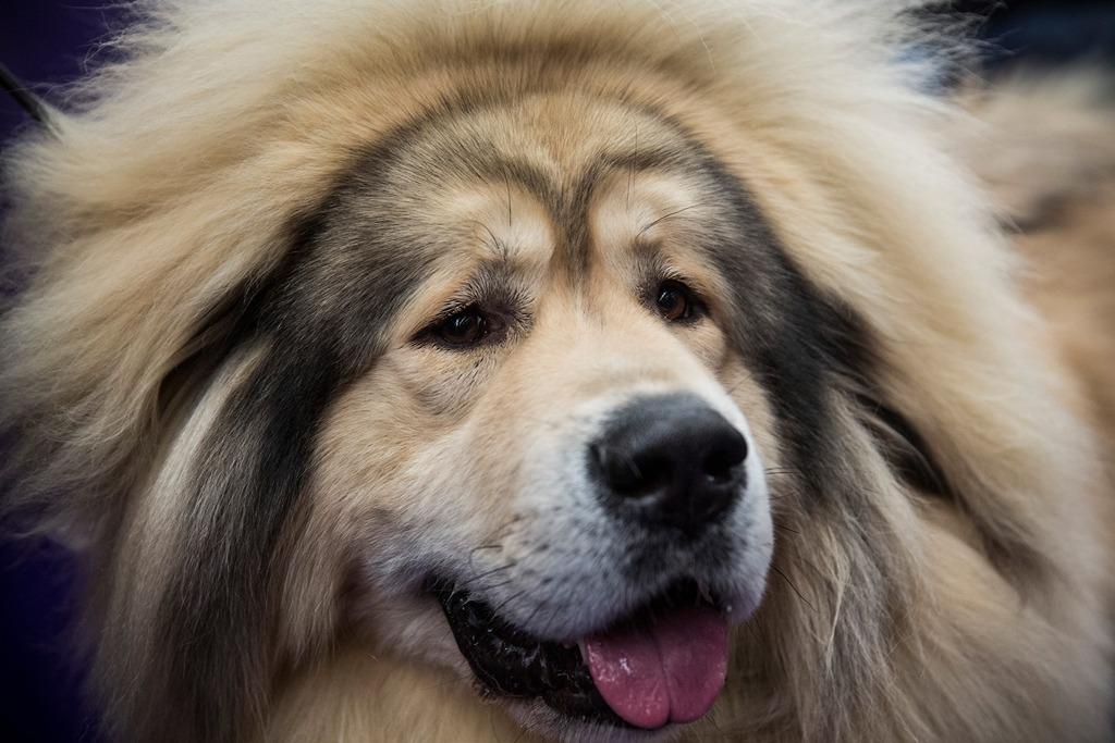 Тибетский мастиф на 138-й Вестминстерской выставке собак. Фото: Andrew Burton/Getty Images