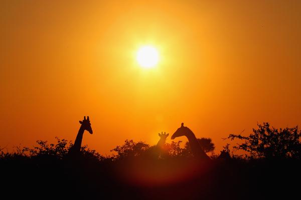 Заповедник Maшату. Жирафы. Фото: Cameron Spencer/Getty Images