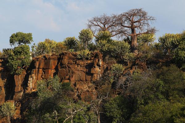 Баобабы растут на вершине скалы в заповеднике Maшату. Фото: Cameron Spencer/Getty Images