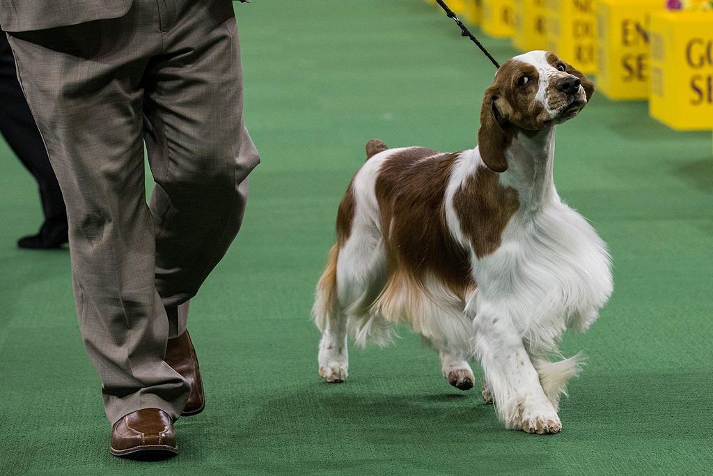 Вельш-спрингер-спаниель на 138-й Вестминстерской выставке собак. Фото: Andrew Burton/Getty Images