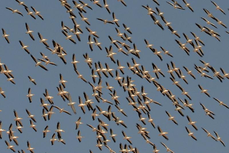Ахмедабад, Индия, 15 октября. Стая мигрирующих пеликанов пролетает над пригородом. Штат Гуджатар — это райское место для мигрирующих птиц. Фото: SAM PANTHAKY/AFP/Getty Images