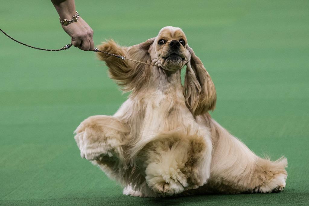 Английский кокер-спаниель на 138-й Вестминстерской выставке собак. Фото: Andrew Burton/Getty Images