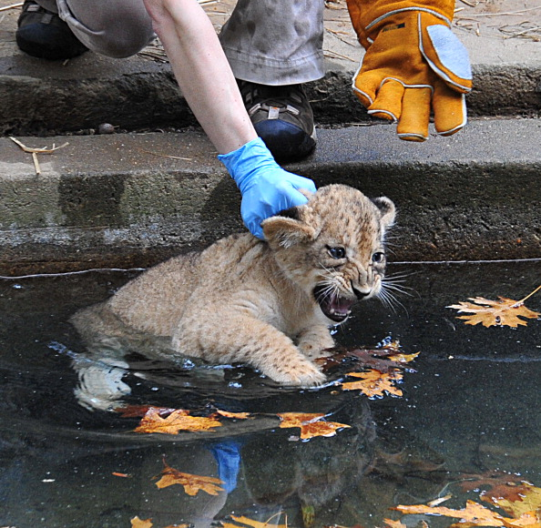 Львята учатся плавать в зоопарке США. Фоторепортаж. Фото: KAREN BLEIER/AFP/Getty Images