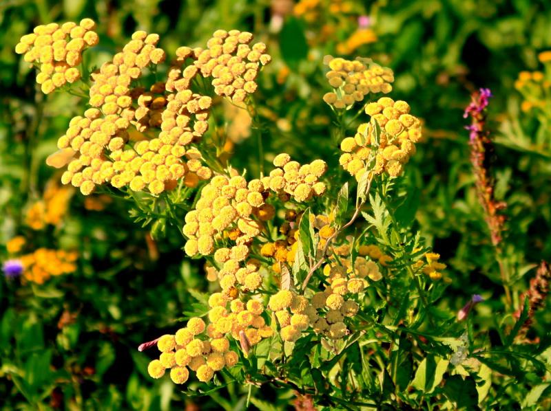 Цветы пижмы — знак бабьего лета. Фото: Валерия Мирошко