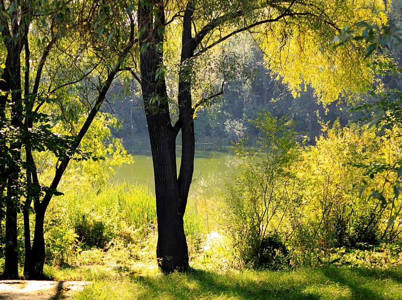 Плакучая ива. Фото: Валерия Мирошко