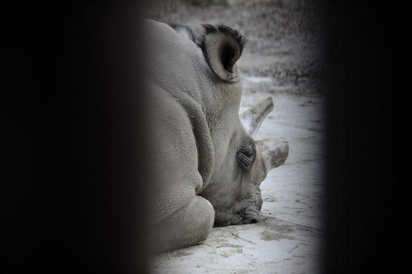 Судан, представитель подвида северных белых носорогов, в зоопарке Двур-Кралове. Фото: TONY KARUMBA/AFP/Getty Images