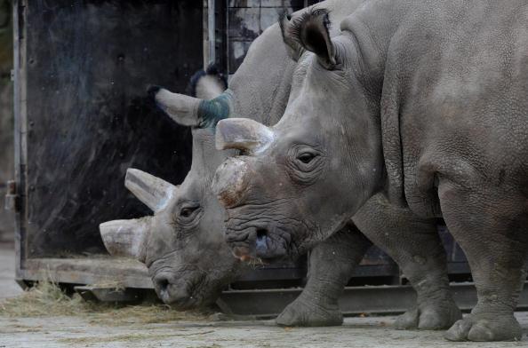 Фату и Набире, самки северного белого носорога, в зоопарке Двур-Кралове. Фото: TONY KARUMBA/AFP/Getty Images