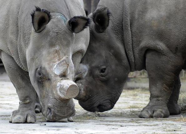 Фату та Набіре, самки північного білого носорога, у зоопарку Двур-Кралове. Фото: TONY KARUMBA/AFP/Getty Images