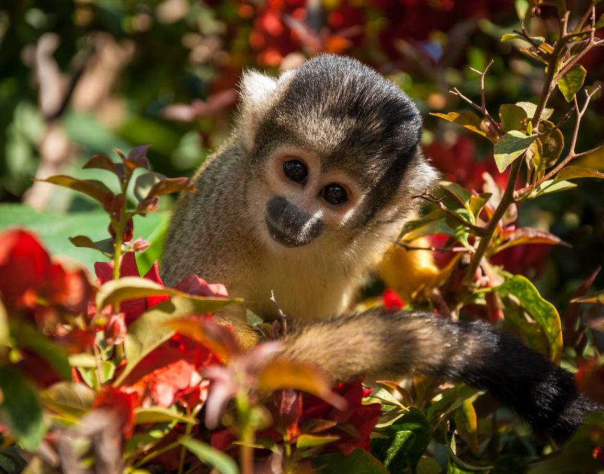 Обезьянка в заповеднике для больных и травмированных животных, которые уже не могут самостоятельно жить в дикой природе. Фото: boredpanda.com