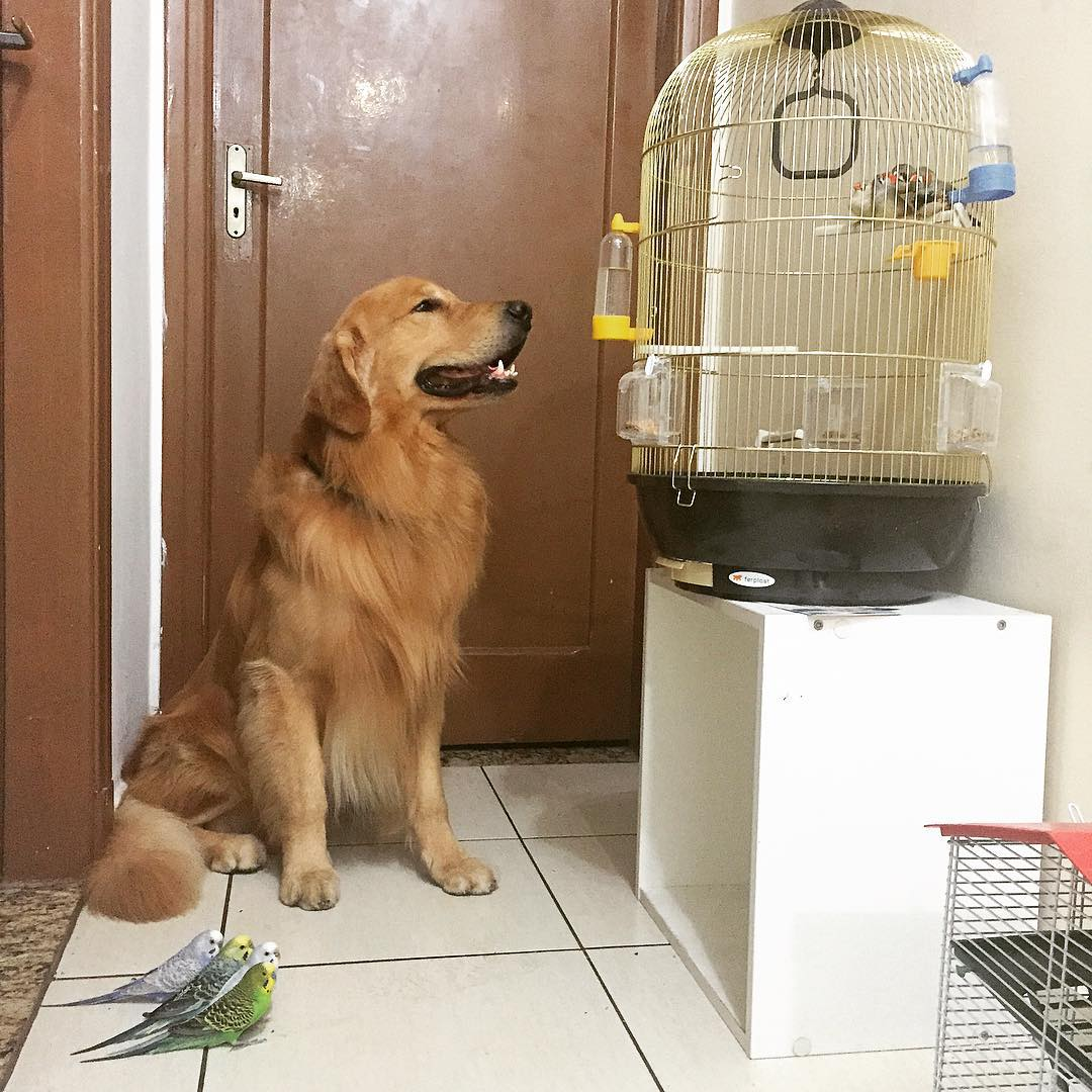 Фото: instagram.com/bob_goldenretriever