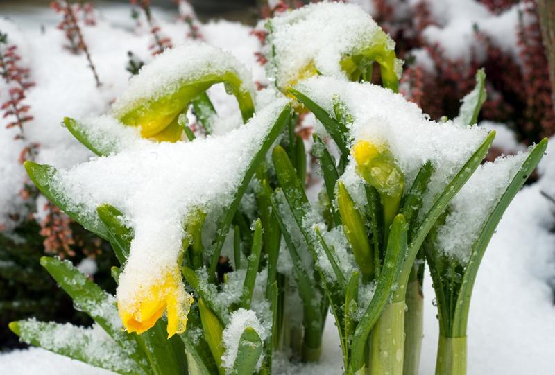 Мюнхен, Німеччина, 31 березня. Покриті снігом нарциси. Березню, чи це ти? Фото: PETER KNEFFEL/AFP/Getty Images