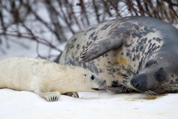 Північна Данія. Новонароджений сірий тюлень та його мати Лаура. Десять років тому Лаура була знайдена на пляжі в районі Hirthals і відправлена в океанаріум. Фото: HENNING BAGGER / AFP / Getty Images