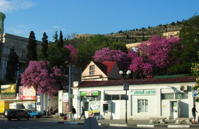 Балаклава, цветёт багряник, Балаклава. Фото: Алла Лавриненко/Велика Епоха