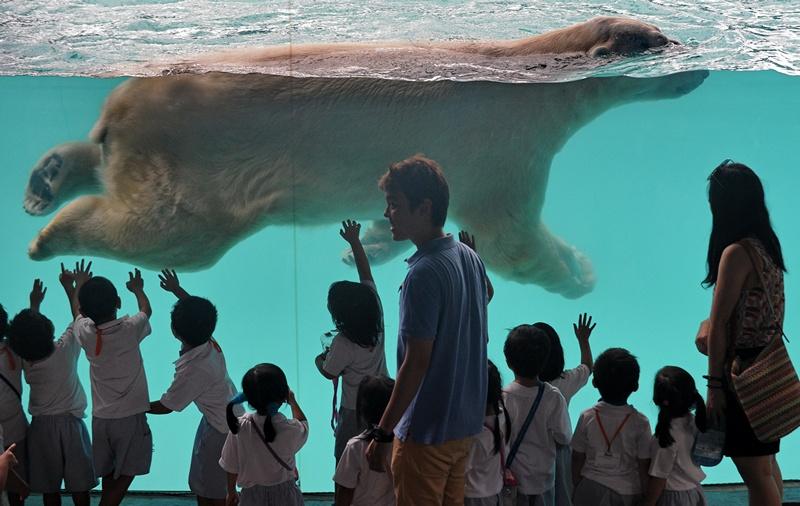 Сингапур, 29 мая. Белый медведь по кличке «Инука» плавает в новом охлаждаемом бассейне. Инука — первый среди белых медведей, появившихся на свет в тропиках. Фото: ROSLAN RAHMAN/AFP/Getty Images