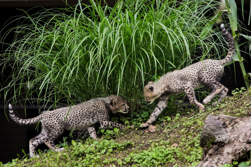 Вашингтон, США, 24 июля. Сотрудники зоопарка представили посетителям трёхмесячных детёнышей гепарда. Фото: T.J. Kirkpatrick/Getty Images