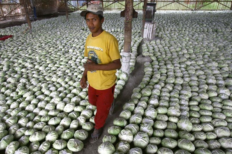 Маланг, Индонезия, 12 декабря. Помещение склада на рынке заполнено кочанами капусты, которые отправятся на экспорт. Фото: AMAN ROCHMAN/AFP/Getty Images