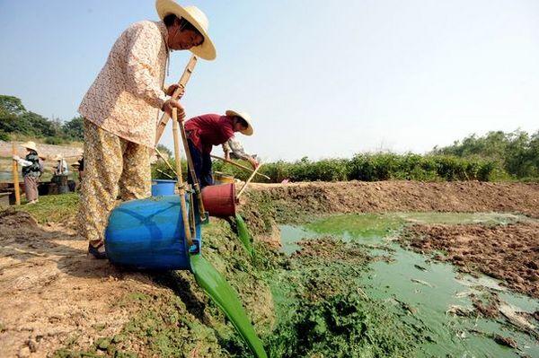 9 июня. Жители г.Чаоху провинции Аньхой вылавливают из воды сине-зелёные водоросли, пытаясь очистить водоёмы. Фото: Getty Images