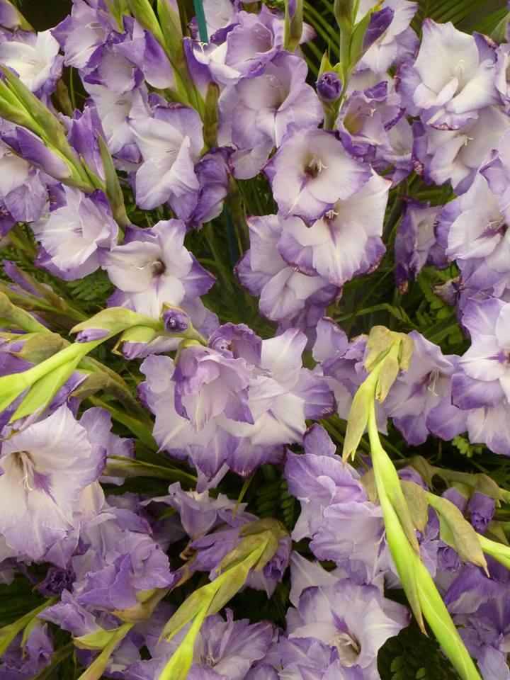 Гладиолусы «Голубая гора» на выставке цветов в Челси. Фото: rhschelsea/facebook.com