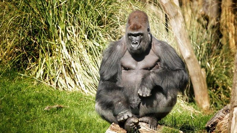 Горилла Кумбука в Лондонском зоопарке. Фото: Steven Edgar/zsllondonzoo/facebook.com