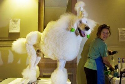 Бен, пудель зі штату Огайо, чекає, щоб його підготували до виставки собак у Нью-Йорку. Фото: Michael Brown/Getty Images