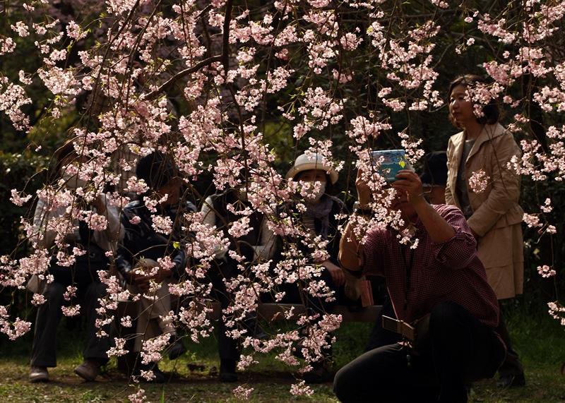 Кіото, Японія, 5 квітня. Відвідувачі парку в імператорському палаці милуються квітучою сакурою. Фото: Buddhika Weerasinghe/Getty Images