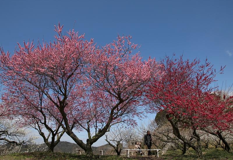 Тацуно, Японія, 14 березня. На горі Аябеяма почався сезон цвітіння сливових дерев. Фото: Buddhika Weerasinghe/Getty Images