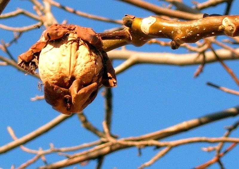 Грецкий орех. Фото: Алла Лавриненко/Великая Эпоха