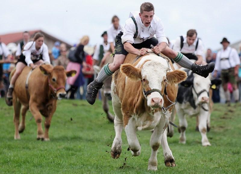 Мюнзинг, Бавария. 26 августа. В городе прошёл 5-й чемпионат по скачкам на быках. Фото: Johannes Simon/Getty Images
