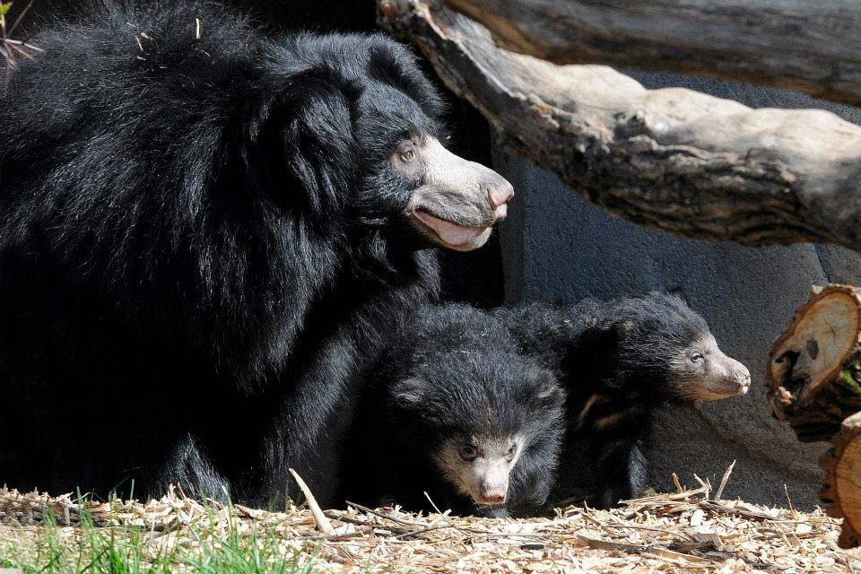 Ведмедиця-губач Хані з ведмежатами в зоопарку Брукфілд. Фото: BrookfieldZoo/facebook.com