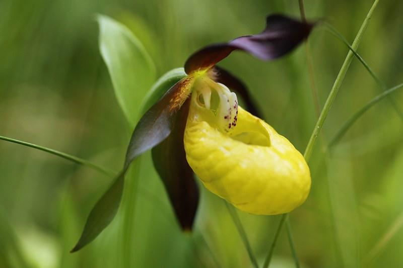 Орхідея «Венерин черевичок», одна з найрідкісніших у Великобританії рослин, знайшла притулок у композиції «Сад Йоркшира». Фото: Dan Kitwood/Getty Images