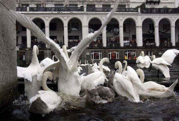 120 білих лебедів. Турботливе ставлення до лебедів у жителів Гамбурга виховується вже багато поколінь. Місцева легенда стверджує, що поки на Альстері живуть лебеді, місто буде квітнути. Фото: Krafft Angerer/Getty Images