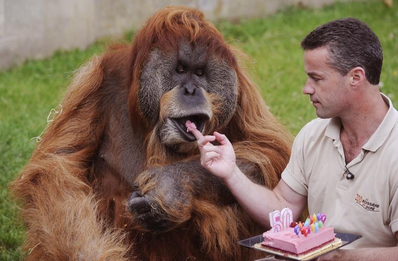 Ла-Буассер-дю-Доре, Франция, 17 июля. Самому старому орангутангу в мире по имени Major («Старший») исполнилось 50 лет. Сотрудник зоопарка угощает именинника праздничным тортом. Фото: ALAIN JOCARD/AFP/GettyImages