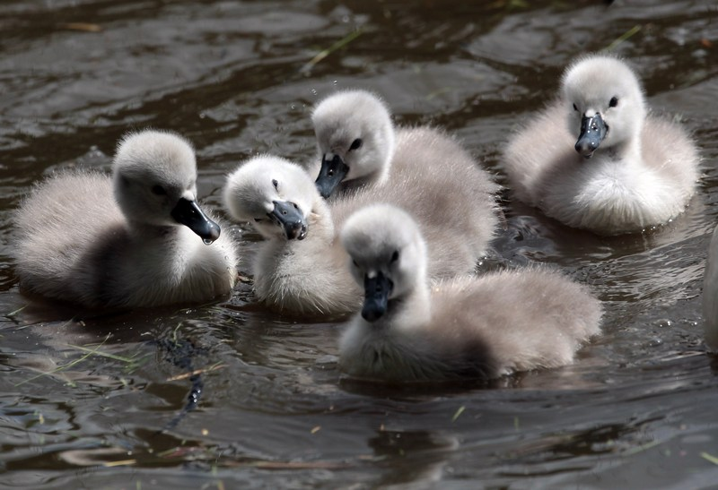 Птенцы лебедя-шипуна. Лебединый сад Эбботсбери, графство Дорсет, Англия. Фото: Matt Cardy/Getty Images