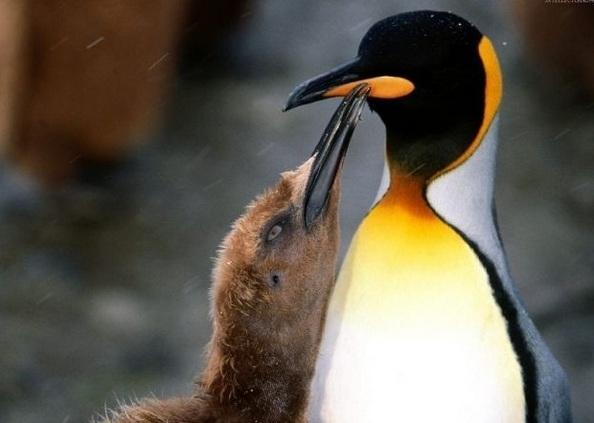 Пингвины - самые закаленные птицы. Фото:animalpix.ru