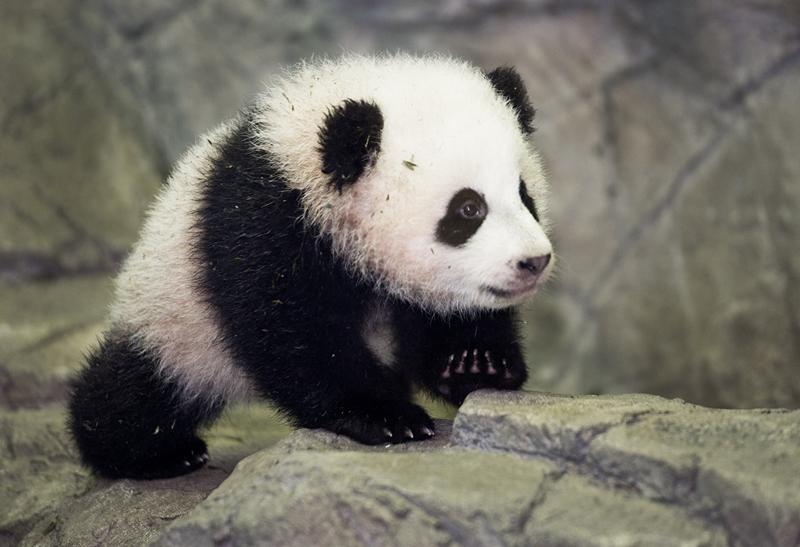 Детёныш большой панды Бао Бао. Фото: PAUL J. RICHARDS/AFP/Getty Images