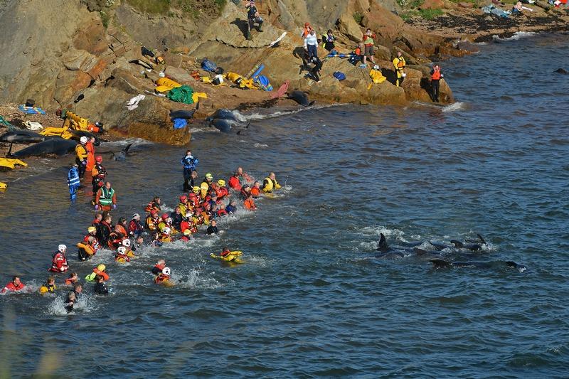Питтенвим, Шотландия, 2 сентября. Спасатели пытаются перетащить в море выбросившихся на берег дельфинов. Фото: Jeff J Mitchell/Getty Images