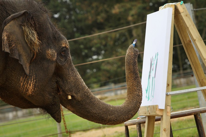 Азиатская слониха Каришма рисует. Фото: Oli Scarff/Getty Images