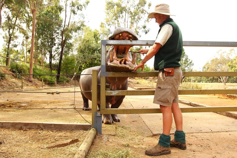 Співробітник зоопарку Ентоні Дорріан чистить ікла бегемота на ім'я «Щасливчик». Зоопарк «Західні рівнини Таронга». Даббо, Австралія. Фото: Mark Kolbe/Getty Images