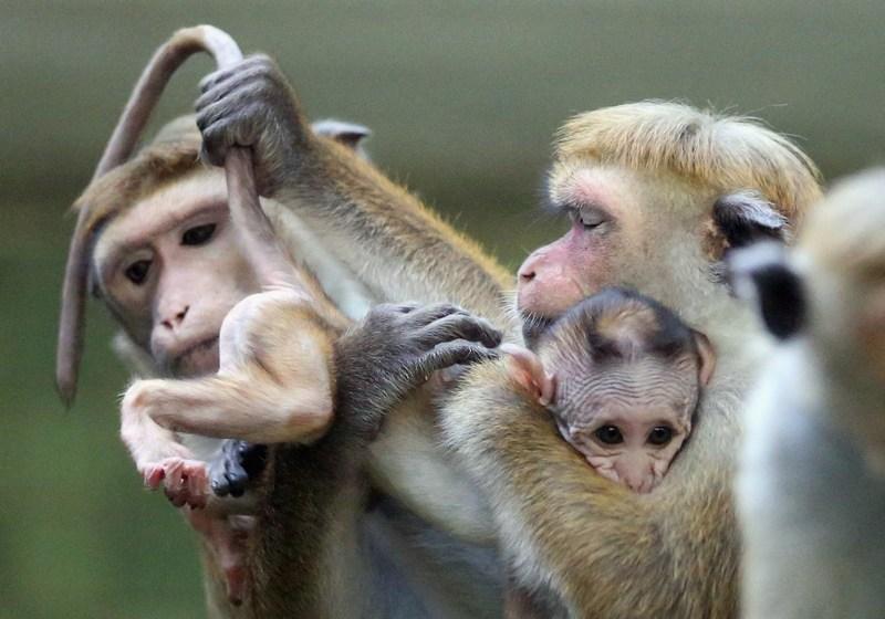 Берлін, Німеччина, 23жовтня. У зоопарку з'явилося на світ дитинча цейлонського макака, найменшого представника сімейства мартишкових. Фото: Sean Gallup/Getty Images