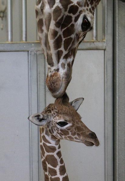 Мать ухаживает за своим новорожденным жирафенком. В зоопарке планируется провести конкурс на лучшее имя для детеныша. Вальехо, Калифорния .Фото: Justin Sullivan/Getty Images