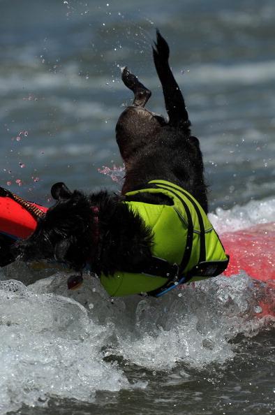 Змагання собак-серфінгістів на Імператорському пляжі біля Сан-Дієго, Каліфорнія, Тихий океан. Фото: GABRIEL BOUYS/AFP/Getty Images