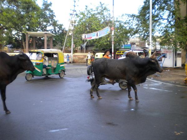 Священые в Индии животные на улицах города. Фото: Наталья ОРЬЕН /Великая Эпоха (The Epoch Times, Франция)