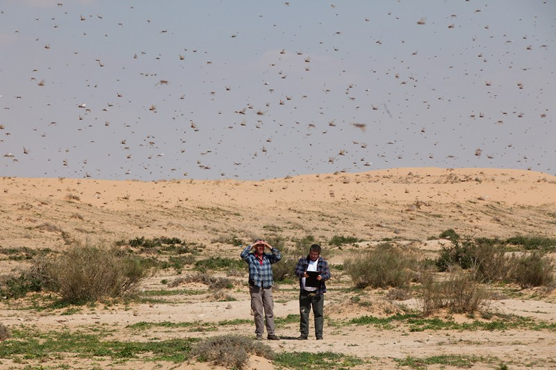 Кмехін, Ізраїль, 6 березня. Мільйони особин сарани атакували Близький Схід. Фото: Uriel Sinai/Getty Images